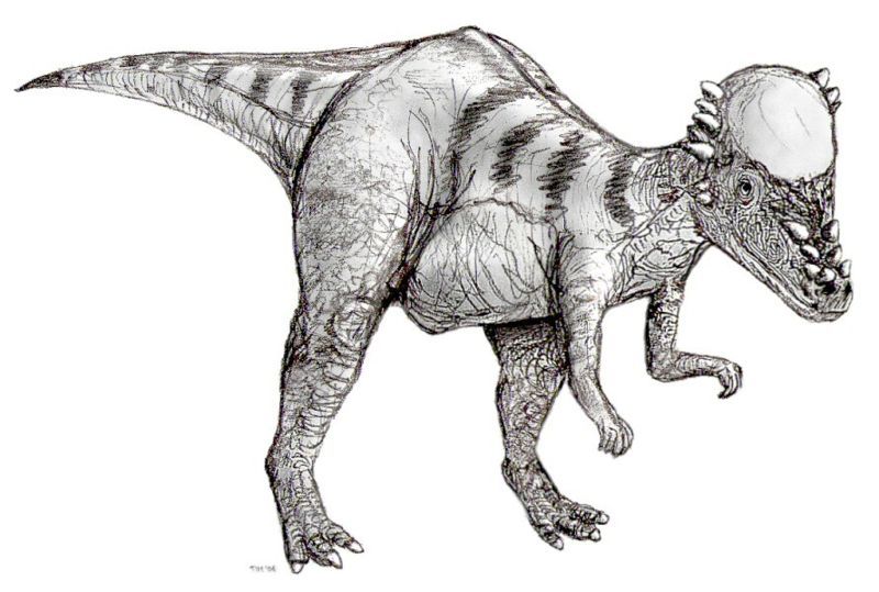800pxsketch_pachycephalosaurus2