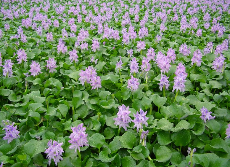 Water_hyacinth_gyoda_suijo_park